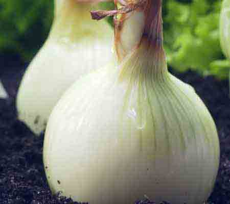Onions (bulb onion, common onion)